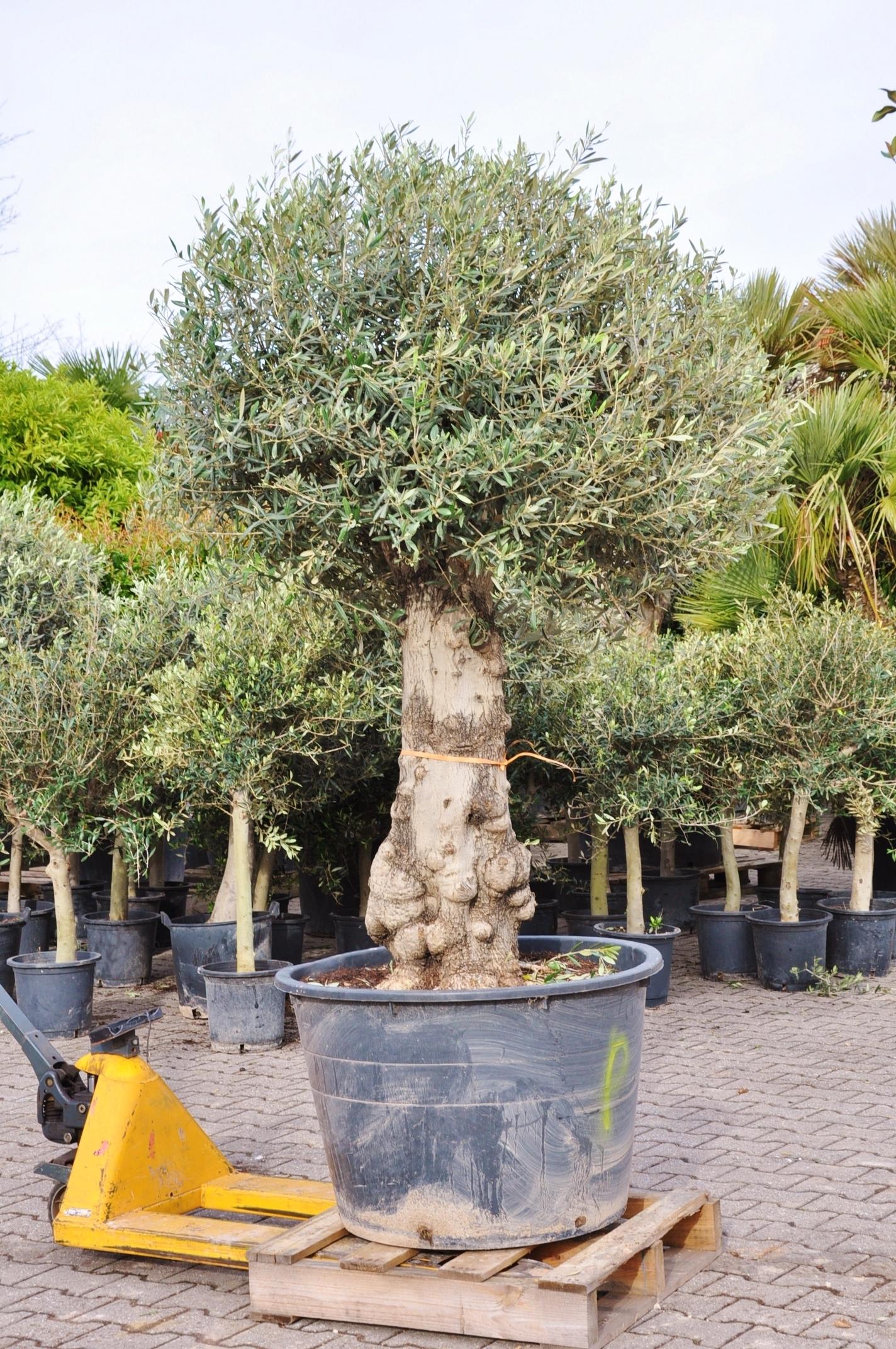olivenbaum hojiblanca frosthart kugel olivenb ume. Black Bedroom Furniture Sets. Home Design Ideas