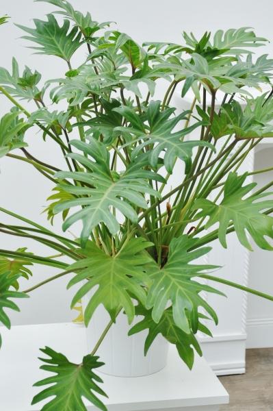 Baumfreund (Philodendron Xanadu)