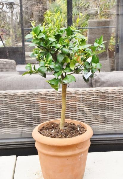 Mandarinenbaum aus Italien