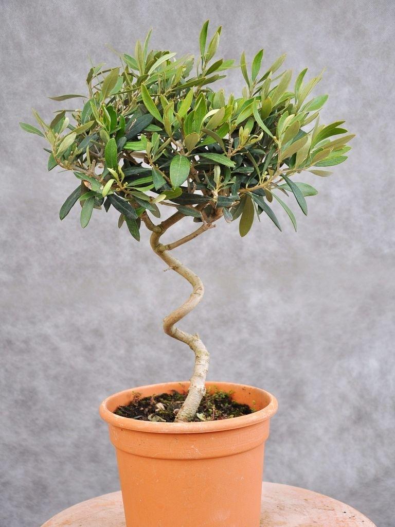 Olivenbaum gedrehter stamm olivenb ume pflanzen for Hydropflanzen versand
