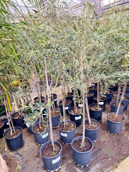 Olivenbaum Manzanilla