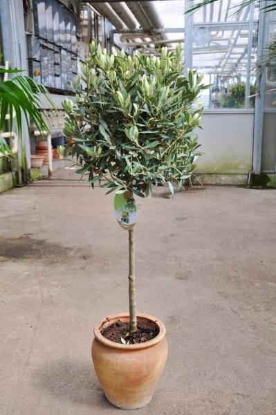 Olivenbaum mit Halbstamm