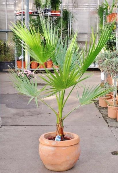 Petticoat-Palme (Mexikanische Washingtonpalme) Einzelsstamm
