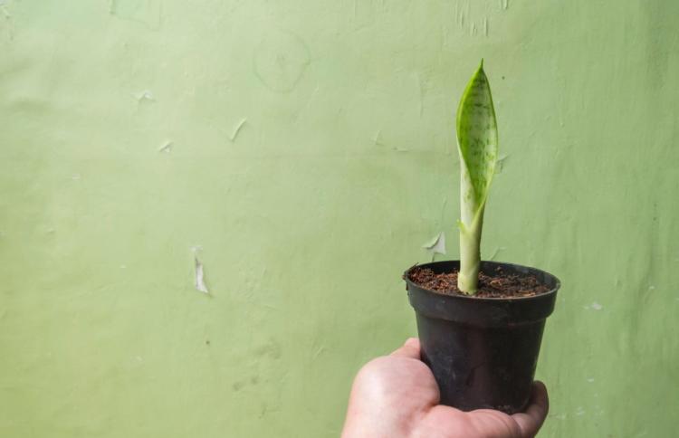 shutterstock_1538384273_Growing-baby-Sansevieria-Trifasciata-in-the-mini-black-pot_tiny_750