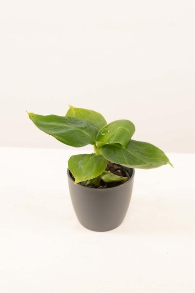 Mini Musa acuminata
