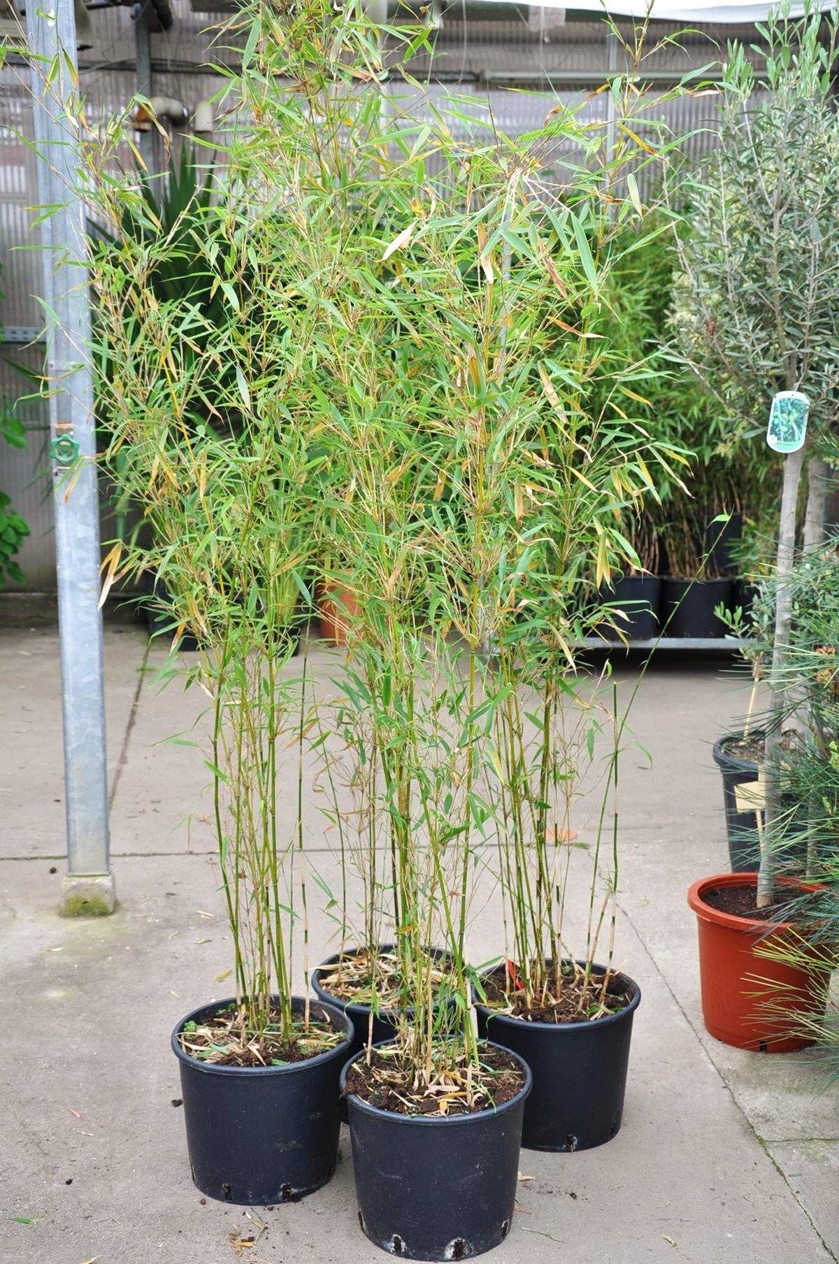 bambus hoher heckenbambus 15 liter bambus pflanzen. Black Bedroom Furniture Sets. Home Design Ideas