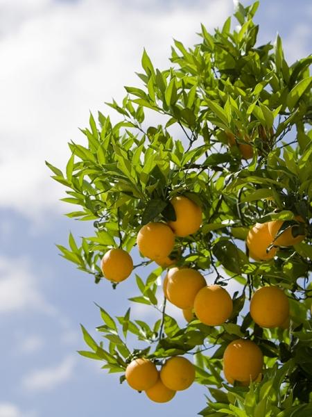 Blog_Zitruspflanzen