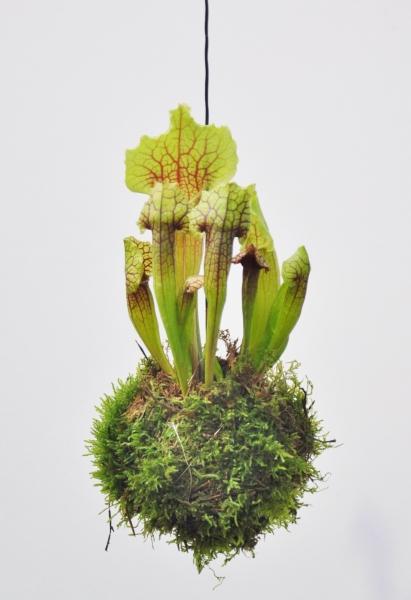 Kokedama (Moosball) Schlauchpflanze